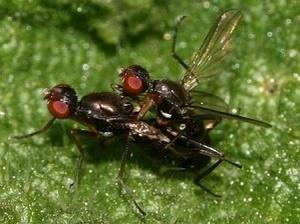 sepsidae32
