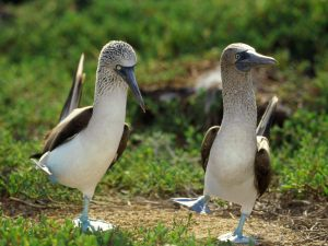 blue-footed-booby-two