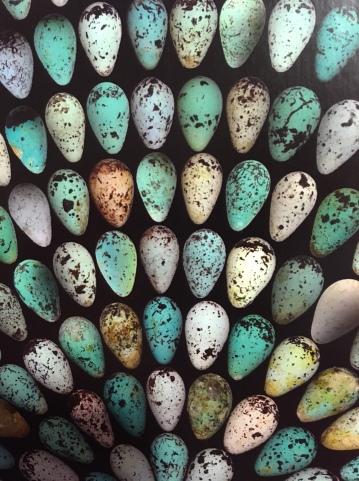 IMG_murre eggs5553